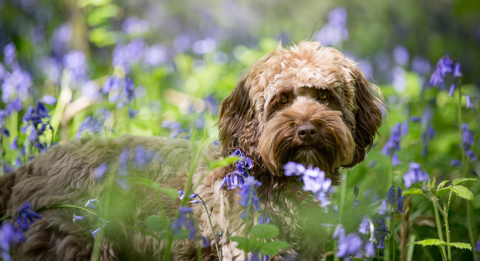bluebells-dog-photography-surrey-1