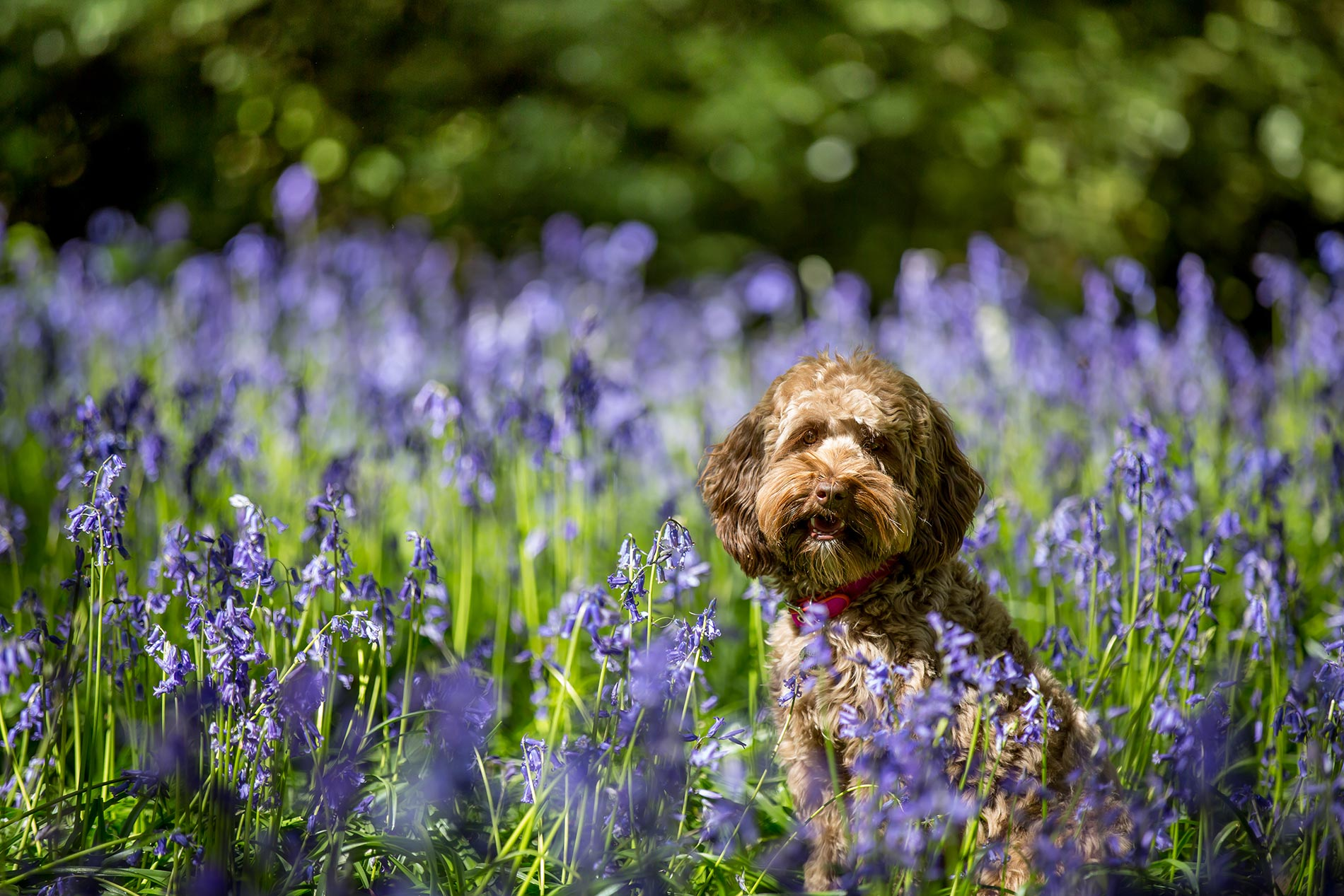 bluebells-dog-photography-surrey-2